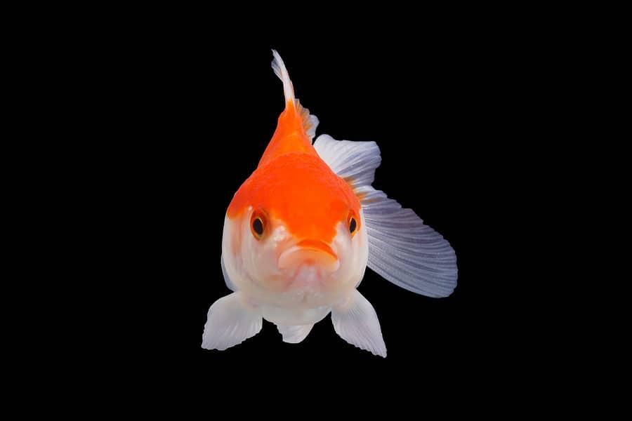 drunk on goldfish