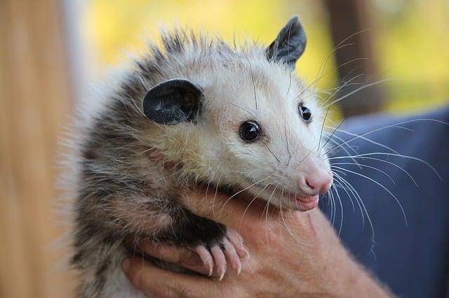 florida dui possum